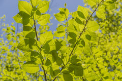 Sunlit Birch Leaves Royalty Free Stock Photography