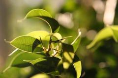 Sunlit Blätter stockfotos