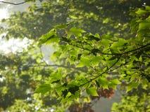 Sunlit Blätter Stockfoto