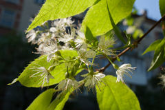 Sunlit blooming bird-cherry tree branch in spring. Stock Images