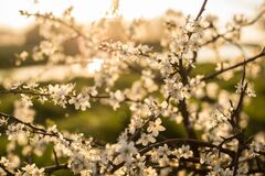 Sunlit blooming branches Royalty Free Stock Images