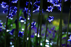 Sunlit Bluebells. Bluebells back lit by the sun Royalty Free Stock Photos