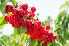 Sunlit branch of cherry berry tree Stock Images