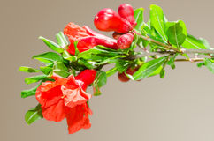 Sunlit branch with spring red pomegranate blossom royalty free stock photos