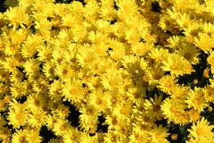 Bright yellow Chrysanthemums growing in the sunshine Royalty Free Stock Photo