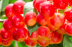 Sunlit bunch of yellow red cherry berry. Sunlit bunch of yellow rainier red cherry berry on tree branch with leafage close-up Royalty Free Stock Photos