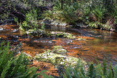 Rainforest creek. Sunlit rainforest creek in Tasmania, with rocks under shallow water and ferns Royalty Free Stock Photos