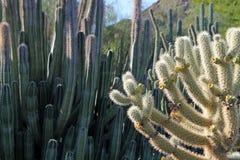 Sunlit Cactus in the Sonora Desert. Arizona Royalty Free Stock Photo