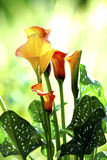 Sunlit Calla Lily. Bright, colourful Calla Lily Royalty Free Stock Image