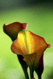 Sunlit Calla Lily. Bright, colourful Calla Lily with abstract background royalty free stock images