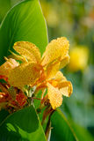 Sunlit canna flowers Royalty Free Stock Image