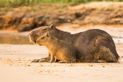 Sunlit Capybara Female and Baby on Sand. Stock Image