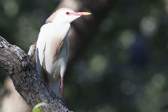 Sunlit cattle egret Royalty Free Stock Photography