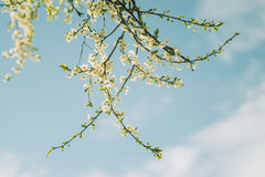 Sunlit cherry tree branch with blooming flowers. Against blue sky Royalty Free Stock Photography