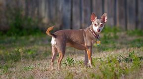 Sunlit chihuahua Stock Image