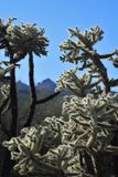 Sunlit Cholla Against Superstition Mountains. Sunlit cholla cactus rise from the Arizona desert floor against a backdrop of the Superstition Mountains and a Royalty Free Stock Image