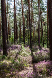 Sunlit Clearing with Blooming Heather in the Middle of a Forest Stock Photography