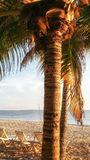 Sunlit closeup image of palm tree on tropical beach with loungers and volleyball net in background. Detailed image of palm tree, loungers, and volleyball net on Stock Photo