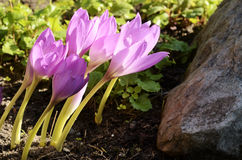 Sunlit colchicum in the flowerbed Stock Photography