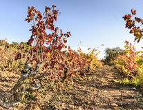 Sunlit colored vineyard Stock Photography