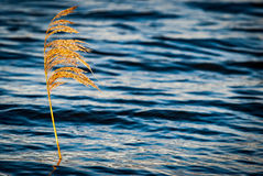 Sunlit common reed Stock Photos