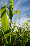 Sunlit corn field Royalty Free Stock Images