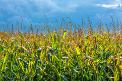 Sunlit Cornfield and Thunderclouds Royalty Free Stock Image