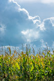 Sunlit Cornfield and Thunderclouds Royalty Free Stock Photo
