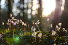 Free Sunlit Cyclamens On Forest Background With Spiderweb Royalty Free Stock Photo - 86791065