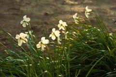 Sunlit daffodils Стоковая Фотография