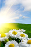 Sunlit Daisies. Under a beautiful blue sky Royalty Free Stock Photo