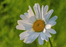 Sunlit daisy. Marguerite daisy flower in evening sun Royalty Free Stock Images