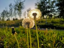 Sunlit Dandelions royalty free stock photography