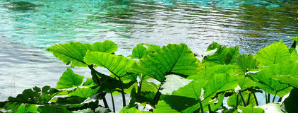 Sunlit Elephant Ear Plants by Water. Elephant Ear plants, also known as Colocasia and Taro, at Rainbow Springs State Park, the source of the Rainbow River in Royalty Free Stock Photo