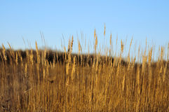 Sunlit feather grass Stock Photos