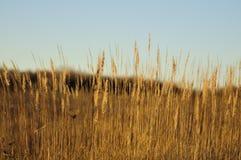 Sunlit feather grass Stock Photos