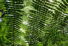 Sunlit fern green leaves and shadows in tropical forest. Stock Photography