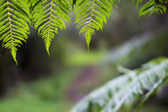 Sunlit ferns overhanging forest trail. Sunlit yellow green ferns overhanging a forest nature walk Royalty Free Stock Photo