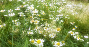 Sunlit Field of Daisies Stock Photo