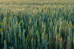 Sunlit field Royalty Free Stock Photography
