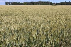 Ripening field of barley, Sweden. Sunlit field of nearly-ripened barley grain crop, Sweden Royalty Free Stock Photography