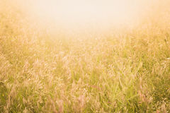 Sunlit field with spikelet. Horizontal Royalty Free Stock Photos