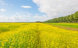 Sunlit field with yellow rapeseed below a blue cloudy sky. At fall Stock Image