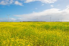 Sunlit field with yellow rapeseed below a blue cloudy sky. At fall Stock Photos