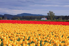 Sunlit Field of Yellow and Red Tulips Royalty Free Stock Photos