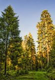 Sunlit firs in a forest, bright sun on firs top Stock Photo