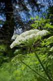 Sunlit flower umbel of cow parsnip growing in a clearing near Sombrio Beach. Vancouver Island, British Columbia stock photography