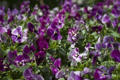 Sunlit flowerslow pansy небольшая расчистка стоковые фотографии rf