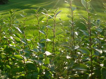 Sunlit foliage hurries to collect the last heat of the sun Royalty Free Stock Image