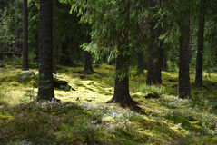 Sunlit Forest. Spruce forest with moss in sunlight. Photographed in Tammela, Finland Stock Photography